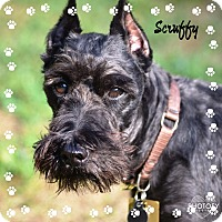 Adopt A Pet :: Scruffy - Sharonville, OH