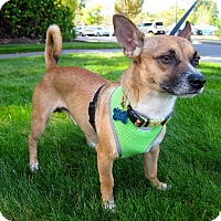 Adopt A Pet :: Shiloh - Adoption Pending - Gig Harbor, WA