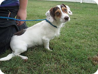 Terrier (Unknown Type, Small)/Hound (Unknown Type) Mix Dog for adoption in Media, Pennsylvania - Milo