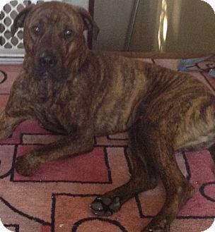 Mastiff/Boxer Mix Dog for adoption in Palatine, Illinois - Axel