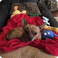 Adopt A Pet :: Bam Bam - Beavercreek, OH