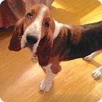 Adopt A Pet :: Phoebe - Carrollton, TX
