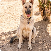 German Shepherd Dog Mix Dog for adoption in Phoenix, Arizona - Tessa