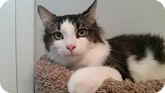 Domestic Mediumhair Cat for adoption in Princeton, Minnesota - Tommy