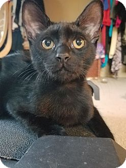 Domestic Shorthair Kitten for adoption in Orange, California - Spitty