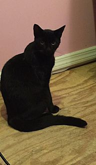 American Shorthair Cat for adoption in Hazlet, New Jersey - Shadow