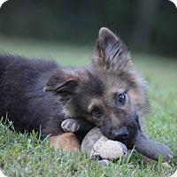Adopt A Pet :: Ian - Greeneville, TN