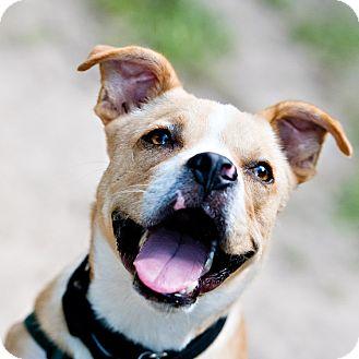 Boxer/Terrier (Unknown Type, Medium) Mix Dog for adoption in Houston, Texas - UB40