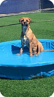 Collie/Retriever (Unknown Type) Mix Puppy for adoption in Lexington, Kentucky - Argus