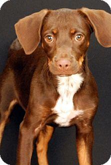 Hound (Unknown Type) Mix Puppy for adoption in Newland, North Carolina - Brownie