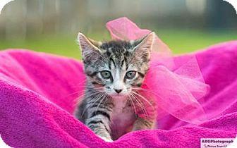Domestic Mediumhair Kitten for adoption in Santa Fe, Texas - Mia