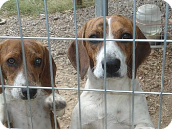 Beagle Dog for adoption in Lebanon, Tennessee - Boonie & Clyde