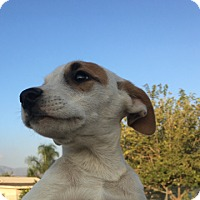 Adopt A Pet :: Babie - LAKEWOOD, CA
