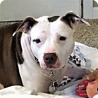 American Staffordshire Terrier/Bulldog Mix Dog for adoption in Bruce Township, Michigan - Sissy 2