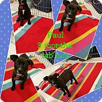 Adopt A Pet :: Paul - LAKEWOOD, CA
