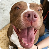 American Staffordshire Terrier/Staffordshire Bull Terrier Mix Dog for adoption in Santa Ana, California - Lily