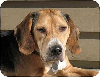 Beagle Mix Dog for adoption in Blairstown, New Jersey - Winston