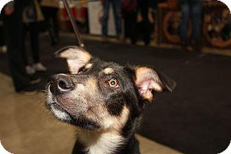 Husky/Shepherd (Unknown Type) Mix Dog for adoption in Surrey, British Columbia - Scamp
