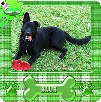 Labrador Retriever/German Shepherd Dog Mix Dog for adoption in Sebec, Maine - BLUE