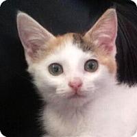 Adopt A Pet :: Shayna - Irvine, CA