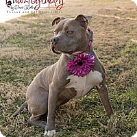 Adopt A Pet :: Jewelz - Gilbert, AZ