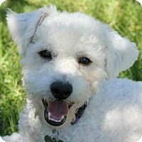 Adopt A Pet :: Bobby - La Costa, CA