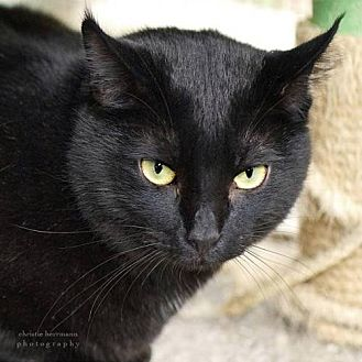 Domestic Shorthair Cat for adoption in Drippings Springs, Texas - Bradley