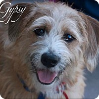 Adopt A Pet :: GYPSY - Fort Worth, TX