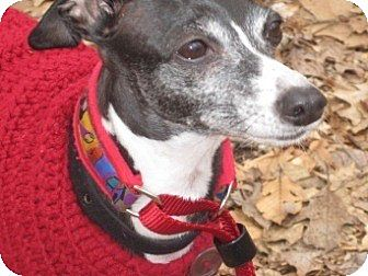 Italian Greyhound Dog for adoption in Croton, New York - Italian Greyhound