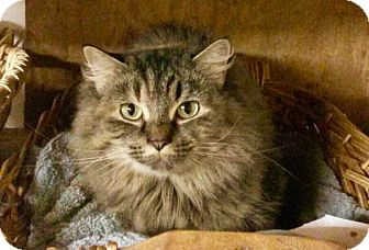 Coon Cat Rescue Nh