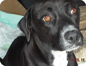 Labrador Retriever Mix Dog for adoption in San Antonio, Texas - Callie