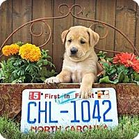 Adopt A Pet :: Carolina - Austin, TX