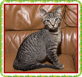 Domestic Shorthair Kitten for adoption in Mt. Prospect, Illinois - Cozumel