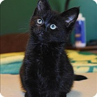 Adopt A Pet :: Ignotus - Sherwood, OR