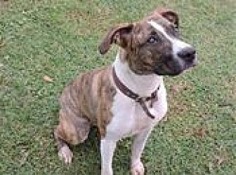 Boxer/American Pit Bull Terrier Mix Dog for adoption in Cottonport, Louisiana - Cinnamon