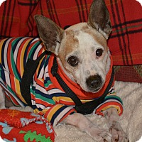Rat Terrier/Jack Russell Terrier Mix Dog for adoption in Nashville, Tennessee - Barney