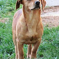 Dachshund Mix Dog for adoption in Johnson City, Tennessee - Loki