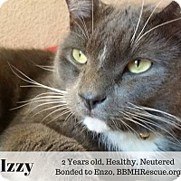 Domestic Shorthair Cat for adoption in Temecula, California - Izzy