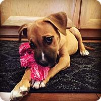 Adopt A Pet :: Talulah - Sonoma, CA