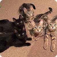 Adopt A Pet :: 5 kittens - Salem, NH