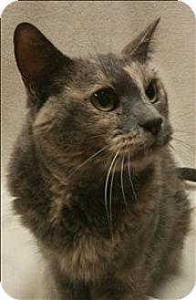 Domestic Shorthair Cat for adoption in Sheboygan, Wisconsin - Sierra