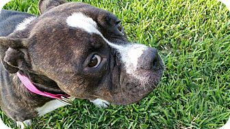 Staffordshire Bull Terrier/American Pit Bull Terrier Mix Dog for adoption in Lorida, Florida - Chanel