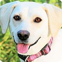 Adopt A Pet :: MISS DAZ(OUR LAB PETITE!!! - Wakefield, RI