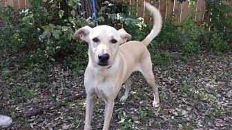 Golden Retriever Mix Dog for adoption in Olympia, Washington - Caspian