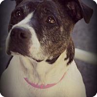 Boxer/Hound (Unknown Type) Mix Dog for adoption in Fredericksburg, Virginia - Roosy