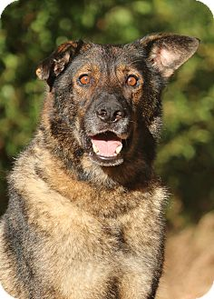 German Shepherd Dog Dog for adoption in Nashville, Tennessee - Sofie