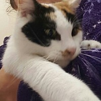 American Shorthair Cat for adoption in Lyons, Illinois - Indy