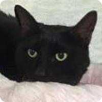 Domestic Shorthair Cat for adoption in Tiburon, California - Amy