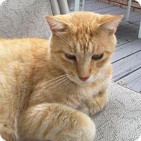 Domestic Shorthair Cat for adoption in Homewood, Alabama - Dandelion