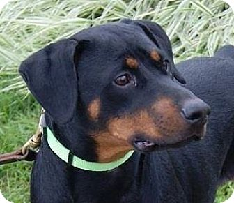 Doberman Pinscher Mix Dog for adoption in Monroe, Michigan - Boo